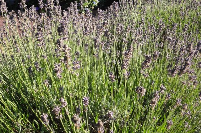 Lavendel (1)