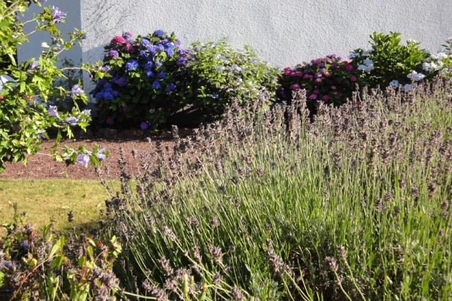 Lavendel (2)